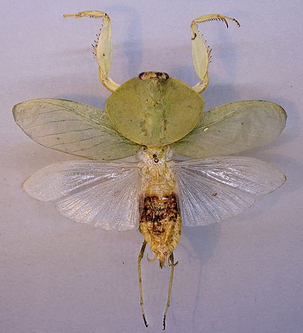 Взрослая самка Choeradodis strumaria