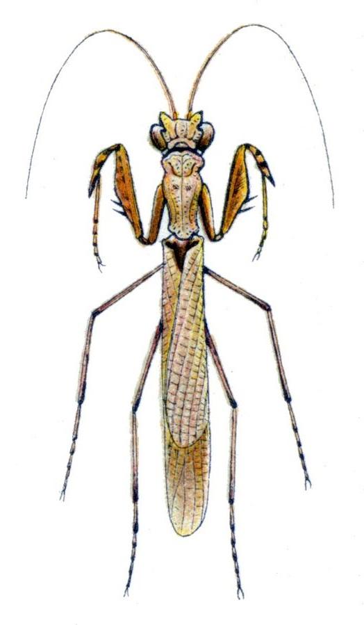 Cliomantis cornuta