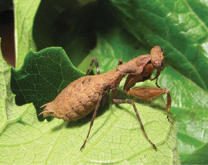 Dystacta tigrifrutex