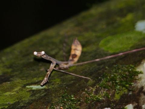 Euchomenella heteroptera самка
