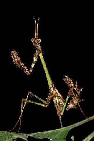 Gongylus gongylodes (богомол-скрипка)