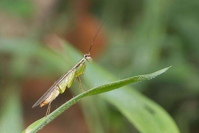 Hapalopeza nilgirica
