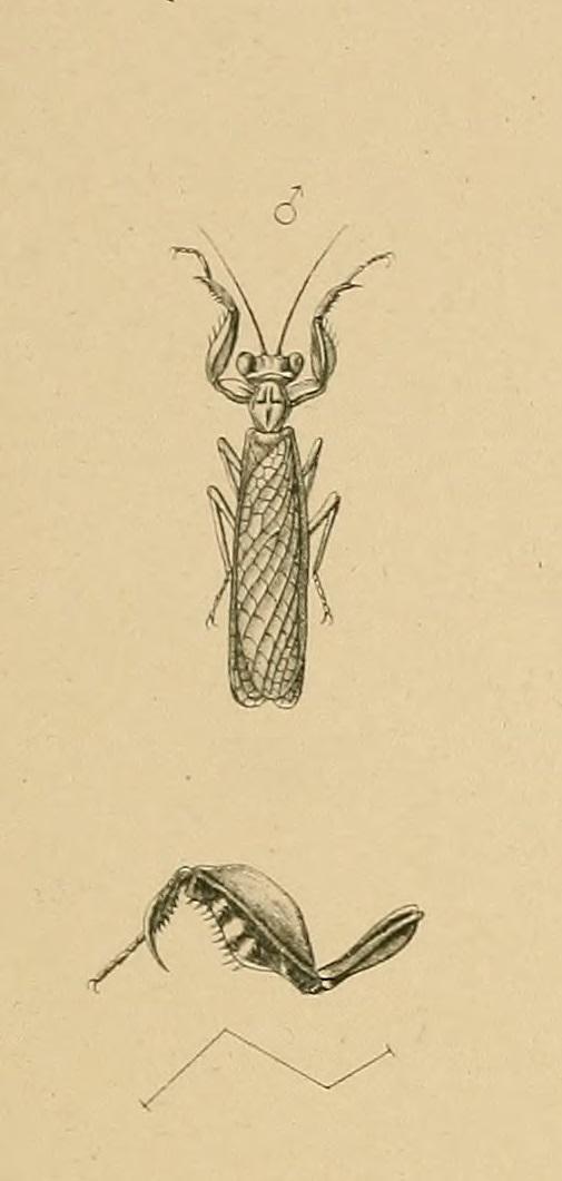 Hestiasula nitida