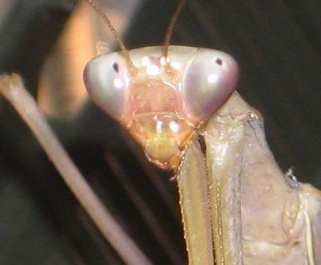 Глаза богомола Hierodula membranacea