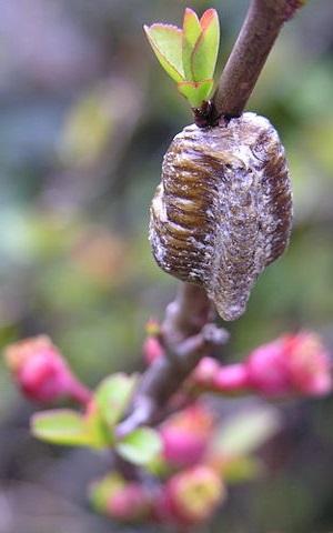 Hierodula patellifera оотека
