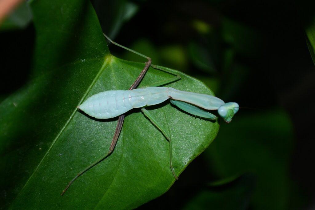 Hierodula vitrea - вьетнамский голубой древесный богомол