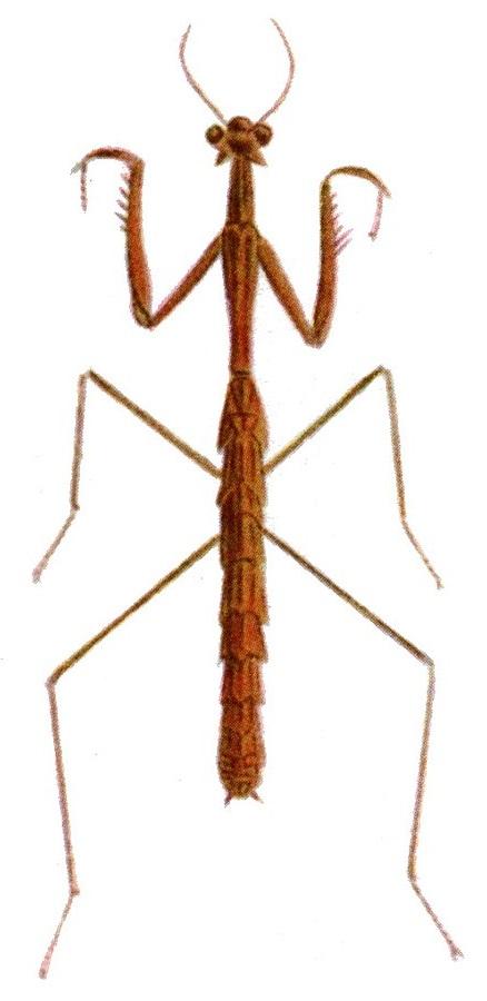 Hoplocorypha macra
