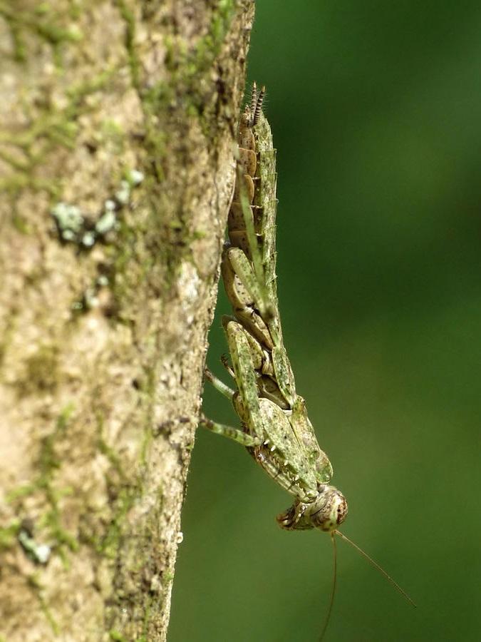 Humbertiella similis