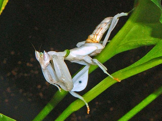 Белый орхидейный богомол