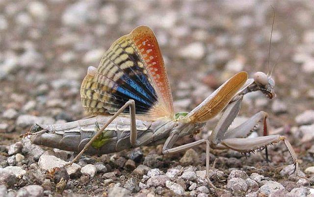 Разноцветные крылья Iris oratoria
