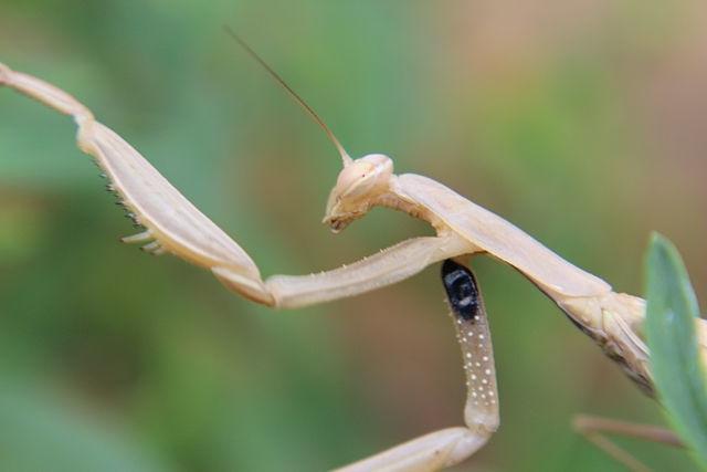 Самка обыкновенного богомола