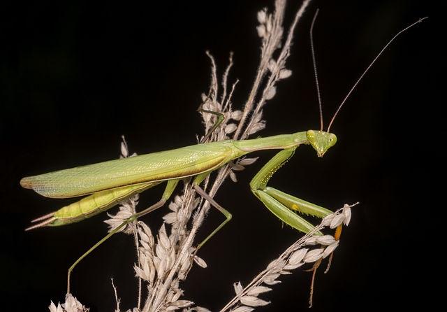 Самец Mantis religiosa