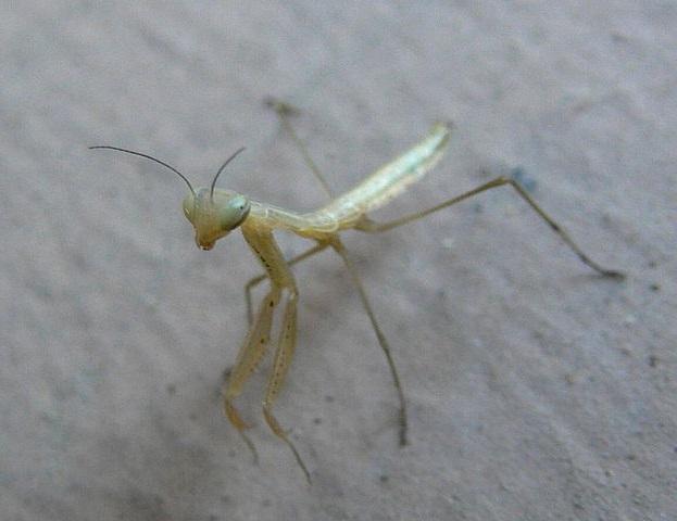 Личинка обыкновенного богомола