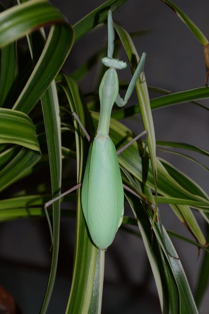 Hierodula membranacea (индийский древесный богомол)
