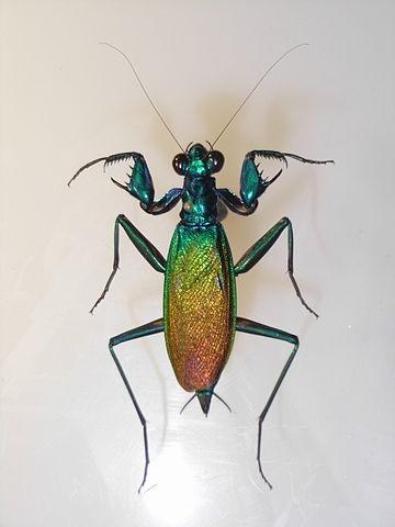 Metallyticus splendidus