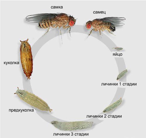 Метаморфоз насекомых на примере мухи-дрозофилы