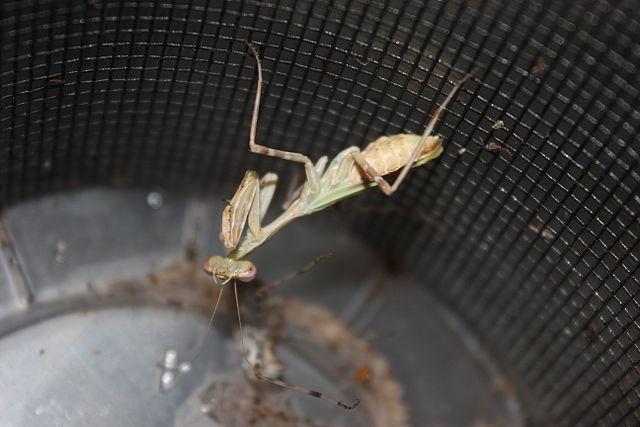 Miomantis binotata самка