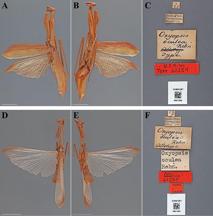 Oxyopsis oculea