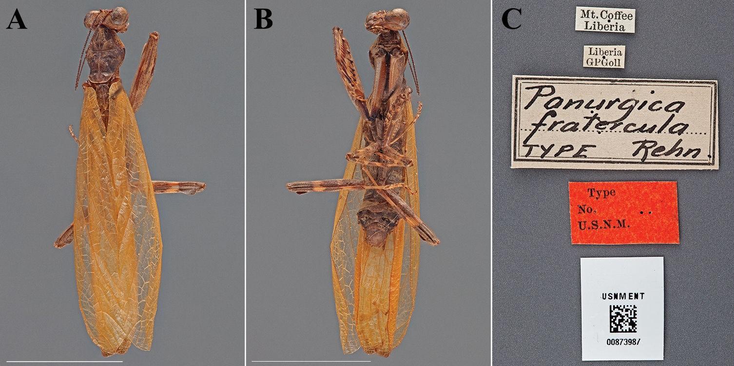 Panurgica fratercula
