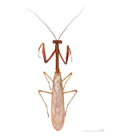 Parastagmatoptera flavoguttata