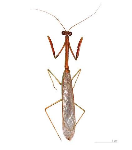 Parastagmatoptera serricornis