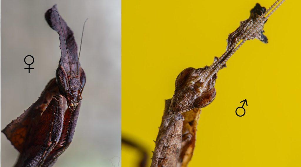 Определение пола у Phyllocrania paradoxa