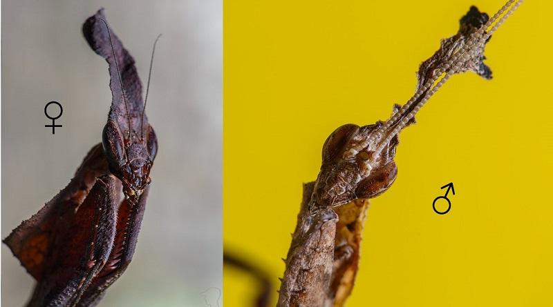 Половой диморфизм у Phyllocrania paradoxa