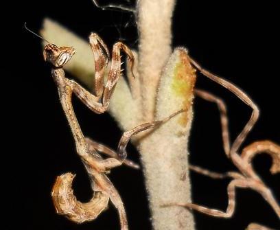 Phyllovates chlorophaena