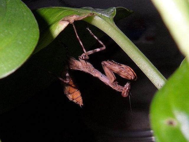 Pnigomantis medioconstricta L-5