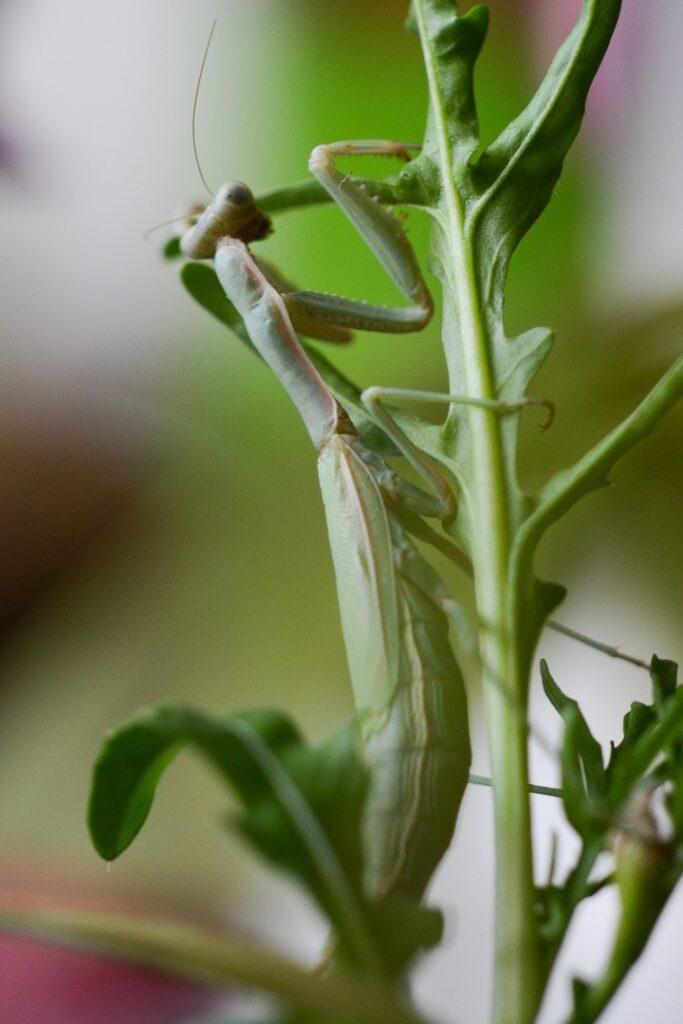 Пятнистокрылый богомол (Iris polystictica)