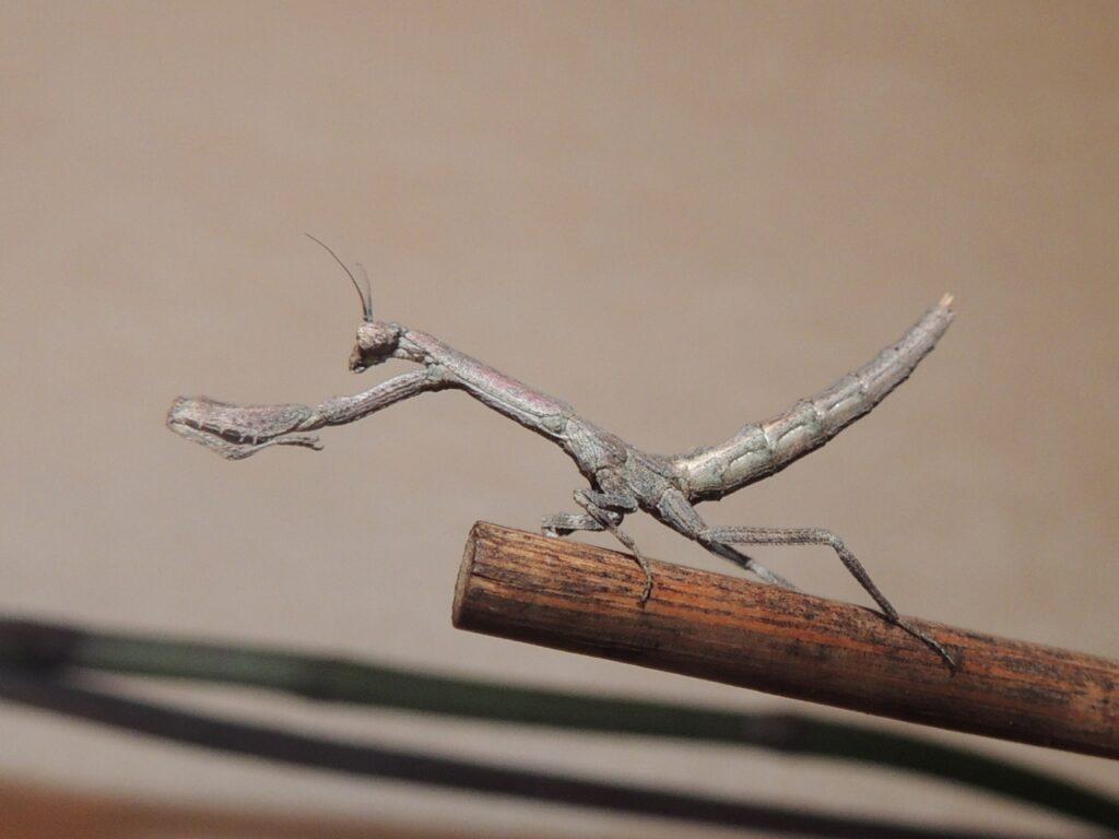 Веточный богомол (Popa spurca)