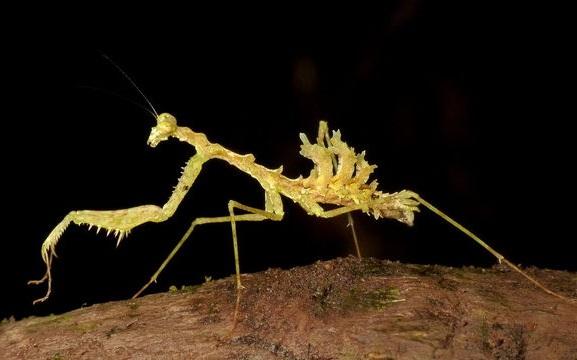 Pseudopogonogaster mirabilis