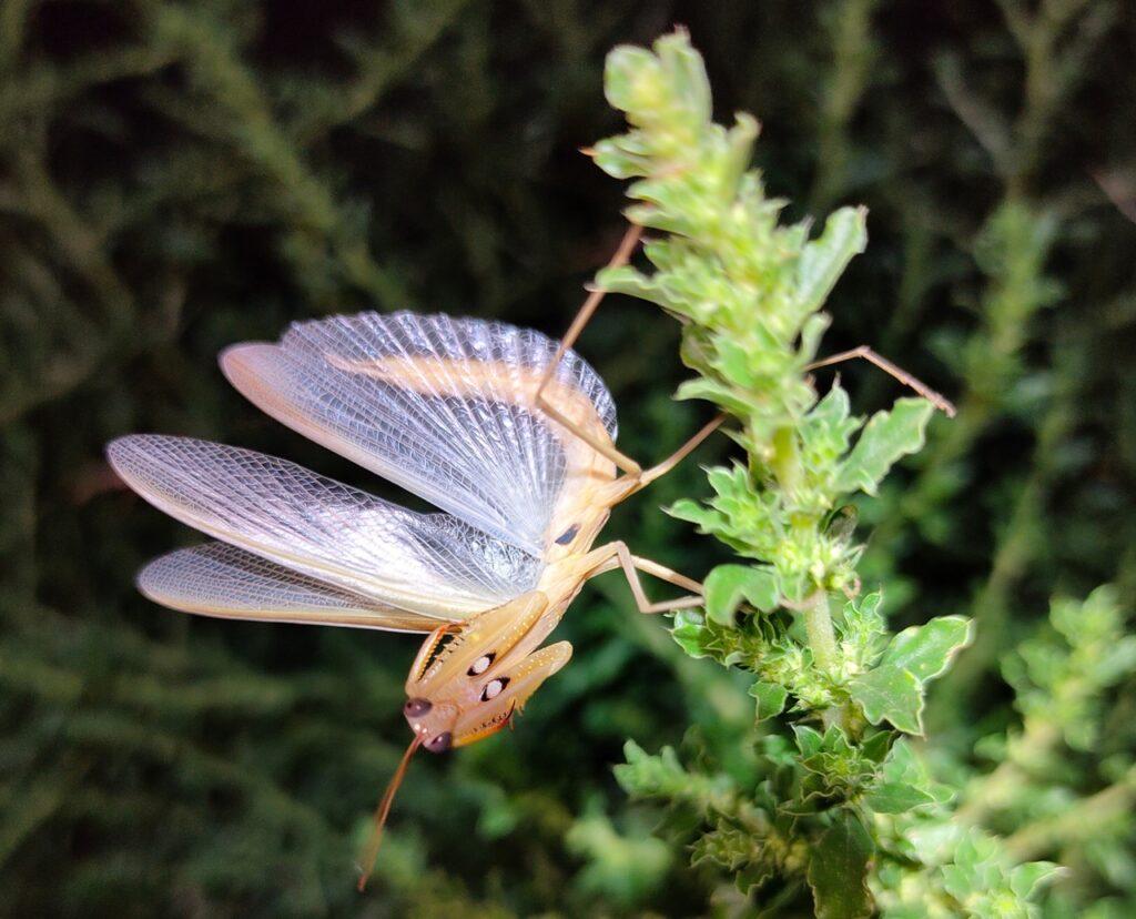 Богомол обыкновенный (Mantis religiosa)
