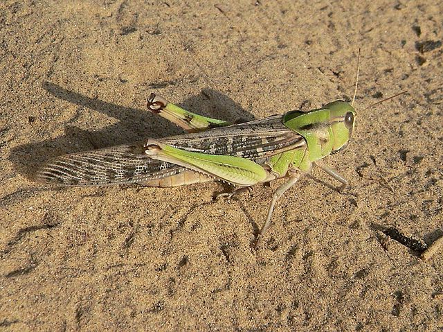 Азиатская саранча на песчаном субстрате