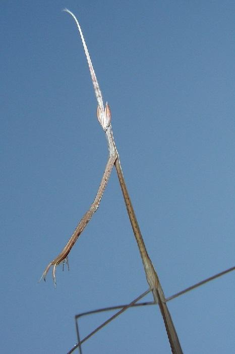Schizocephala bicornis