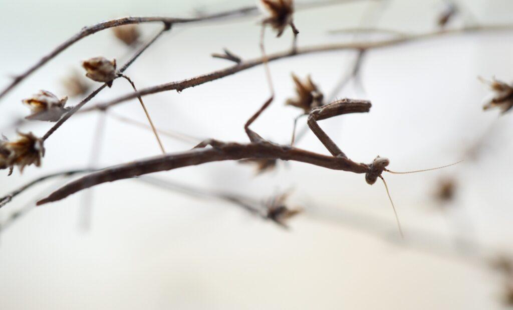 Severinia turcomaniae (веточный богомол)