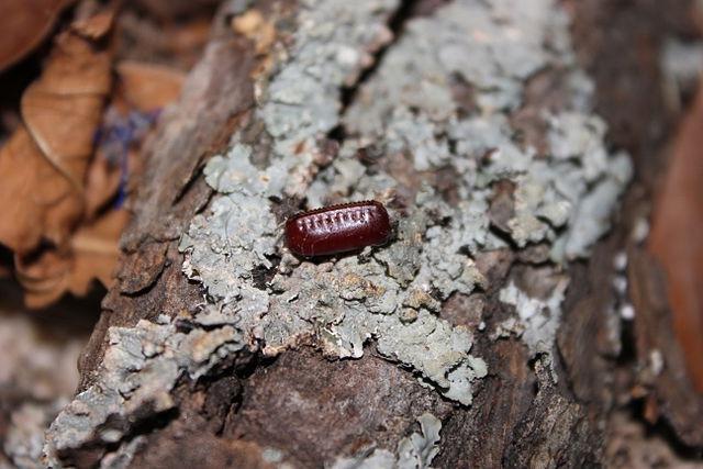 Оотека туркменского таракана