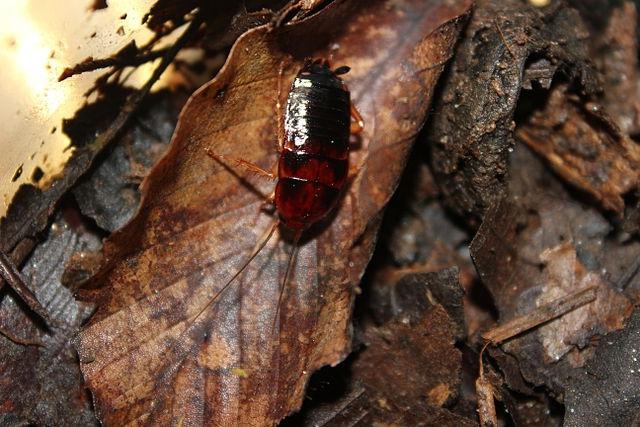 Личинка туркменского таракана