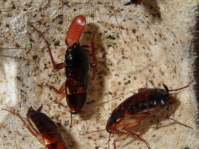 Самка туркменского таракана