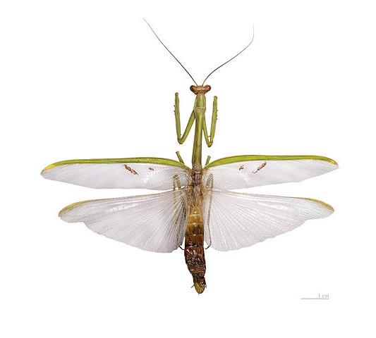 Stagmatoptera flavipennis