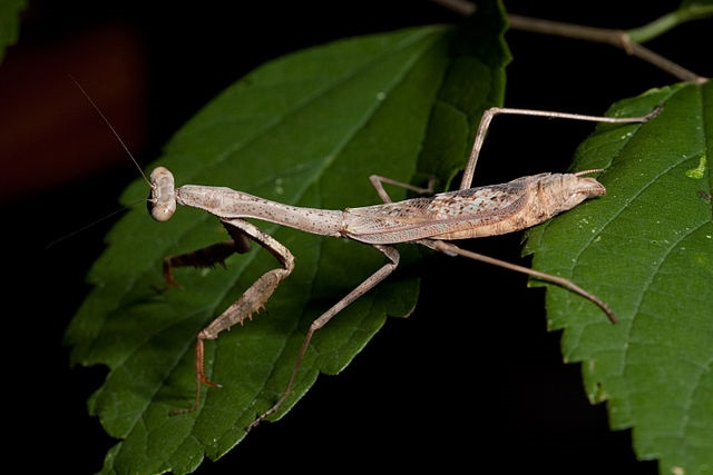 Stagmomantis carolina