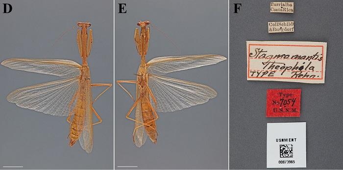 Stagmomantis theophila