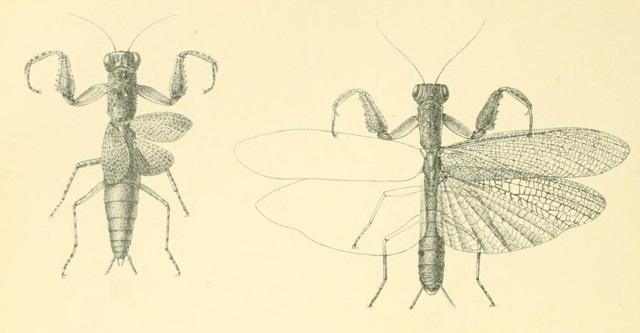Tarachodes perloides