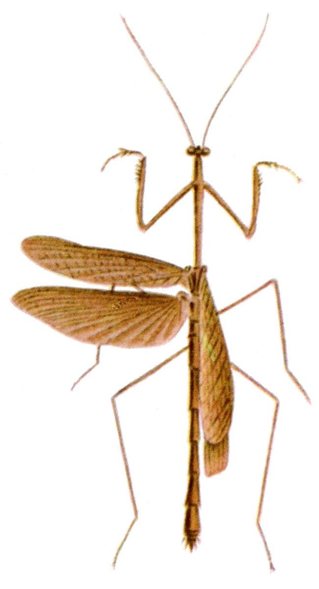 Thesprotia infumata