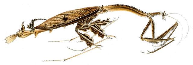 Toxodera denticulata